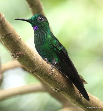 Green-crowned Brilliant, male. Photo by Andrew Russell.