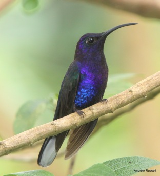 Violet Sabrewing, male. Photo by Andrew Russell.