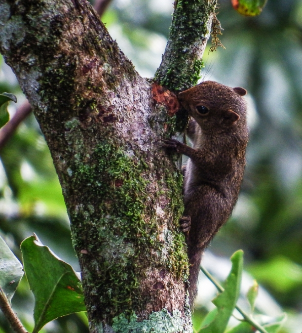 Baby squirrel searching for food in a tree next to the Canopy Tower.