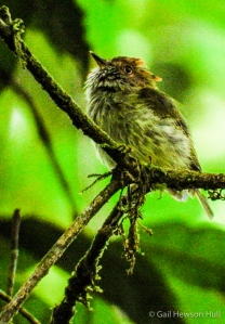 Scale-crested Pygmy-Tyrant