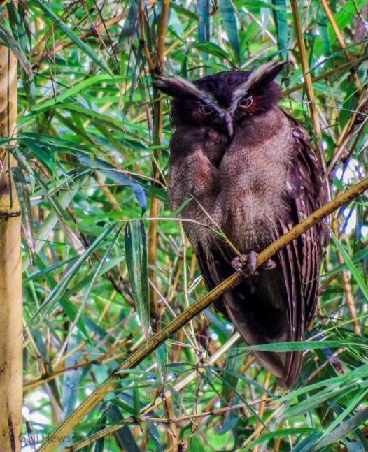 Crested Owl, Lophostrix cristata stricklandi, dark morph