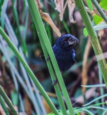 Blue-black Grosbeak male carrying seeds to two growing nestlings.