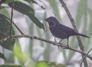 Male Blue-black Grosbeak seen with nesting material on August 23, 2016 at Finca Cantaros, 6:00 AM