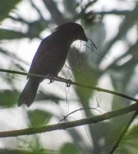 Silhouette of female Blue-black Grosbeak with nesting material