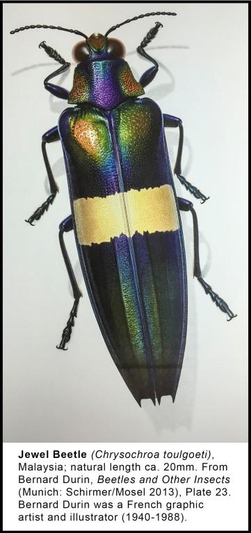 chryochroa-toulgoeti-jewel-beetle-fd2