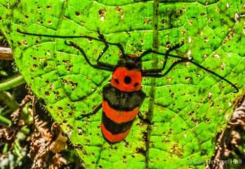 Wood-boring beetle