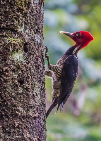Pale-billed Woodpecker, male. Selva Verde Lodge, Sarapiqui