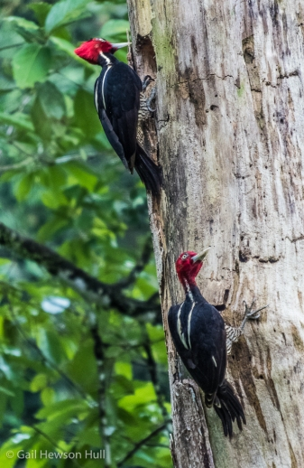 Pale-billed Woodpeckers remain paired throughout the year. They breed from August to December in Costa Rica. Sarapiqui.