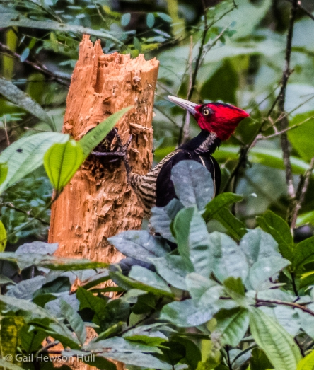 Pale-billed Woodpecker. Note black markings on front of crest and throat, indicating female. Finca Cantaros.