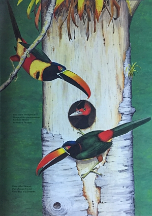 Illustration by Dana Gardener in Life of the Woodpecker, by Alexander F. Skutch. Fiery-billed Aracari threaten cavity of Pale-billed Woodpeckers.