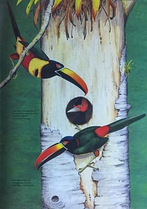 Illustration by Dana Gardener in Life of the Woodpecker, by Alexander F. Skutch. Fiery-billed Aracari threaten cavity of Pale-billed Woodpeckers.